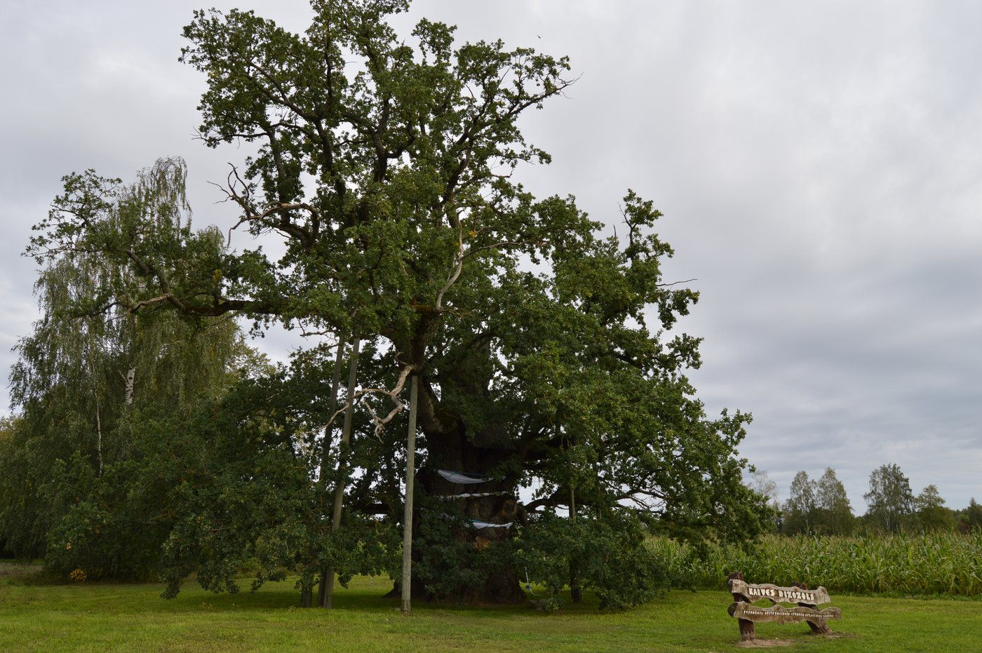 thousand-year-old oak
