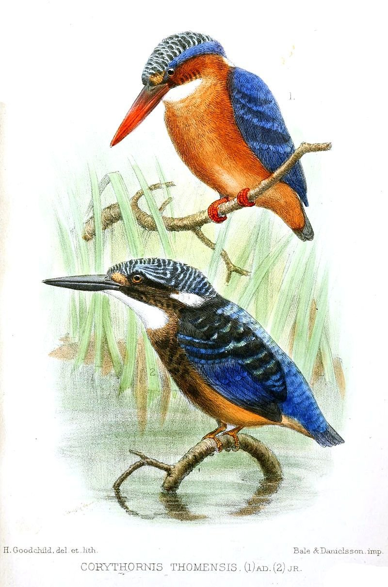 Corythornis Thomensis