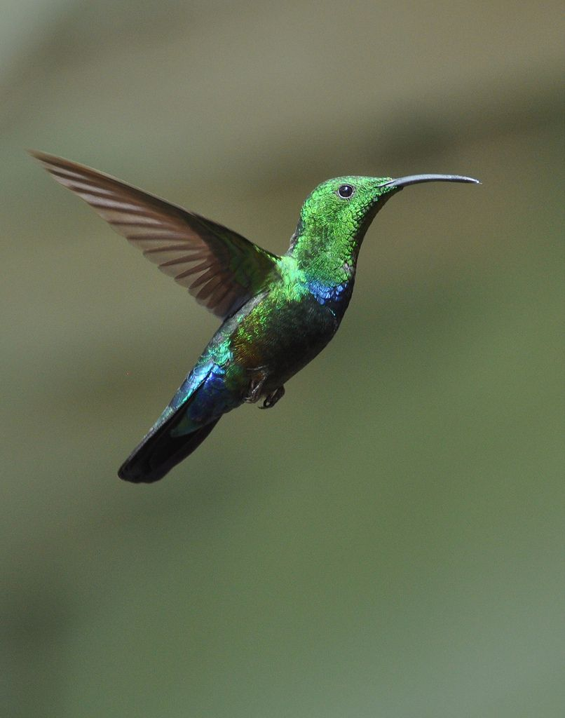 The Green-throated Carib