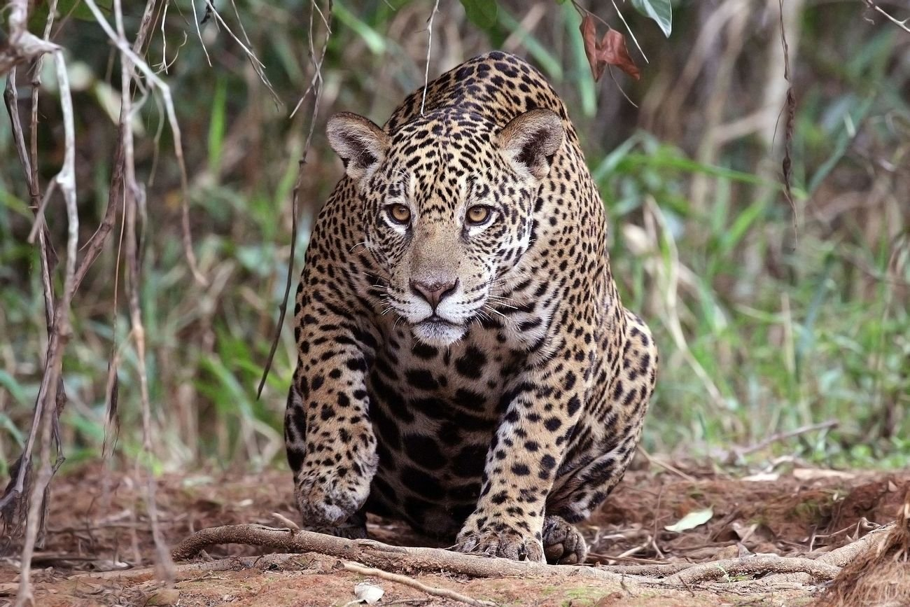 Panthera onca palustris