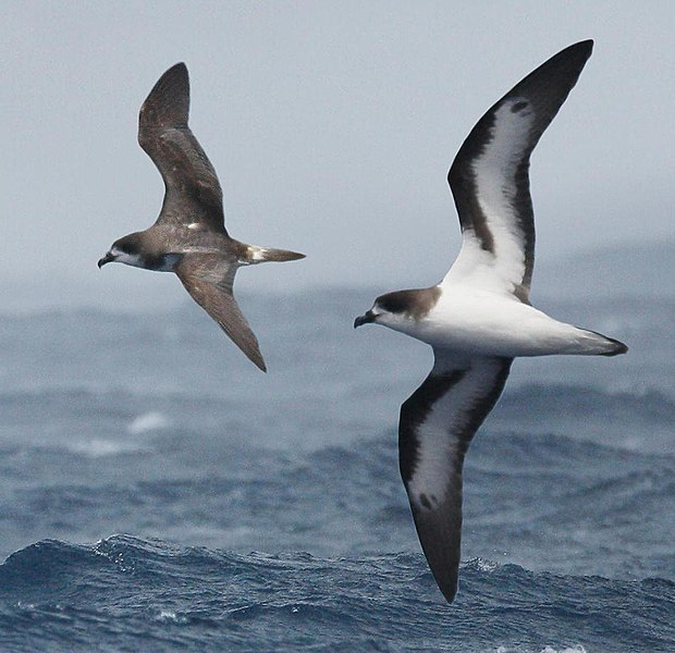 The Bermuda Petrel