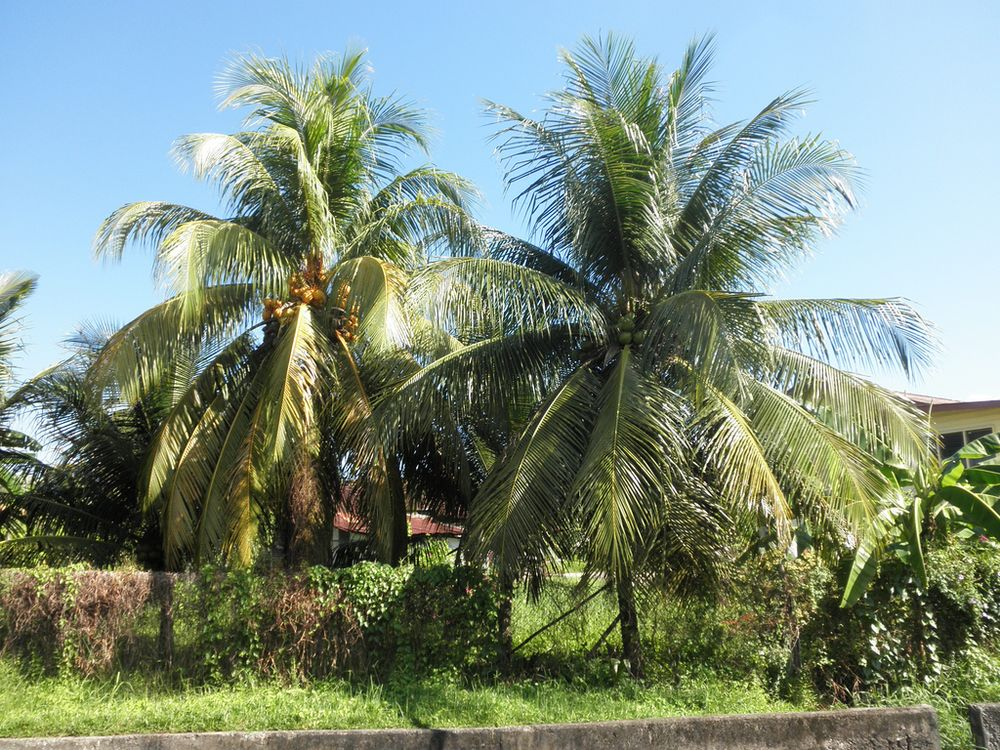 cocoa palm tree