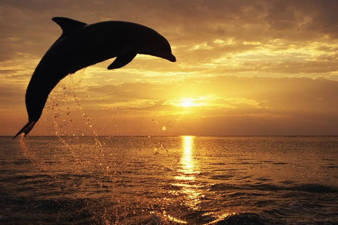 Dolphin in the sea sunset