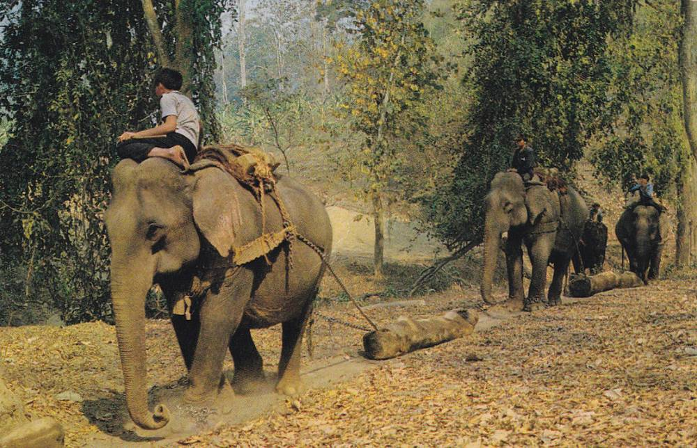 Teak logging with elephants
