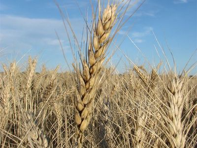 Frderation wheat