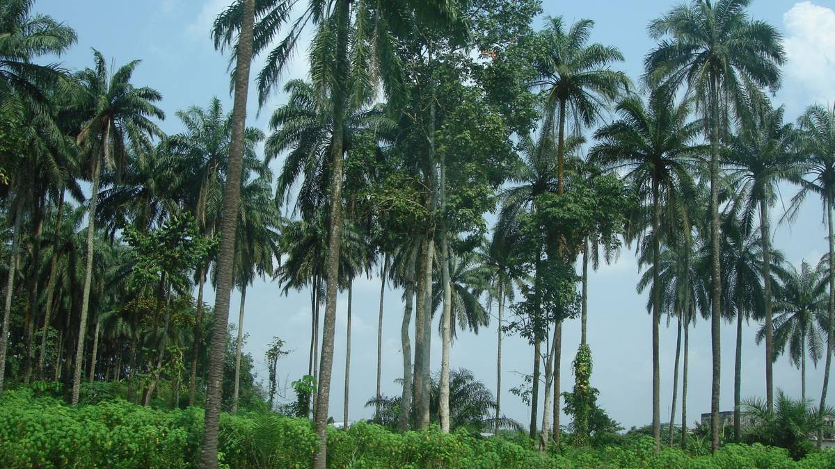 oil palms in Nigeria