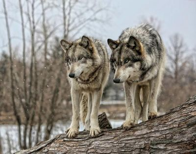 pair of wolfs
